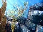 Watch free video Leafy Sea Dragon