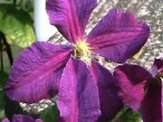 Watch free video Clematis in Macro