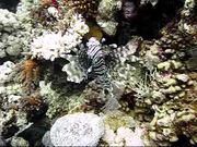 Lion Fish in Red Sea