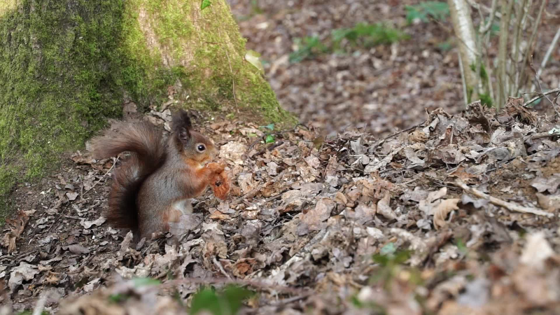 Watch free video Squirrel at the Nature Reserve 2