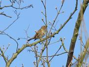 Watch free video Song Thrush