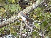 Watch free video American Kestrel