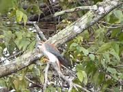 Watch free video American Kestrel