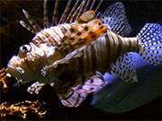 Mira dibujos animados gratis Lionfish Fish Ocean