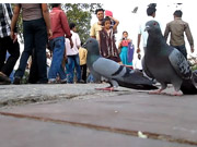 Watch free video Pigeon feeding in an Indian Park