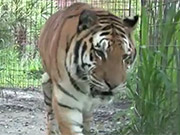 Watch free video Tiger