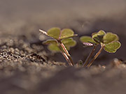 Watch free video Ant Hill with Clover
