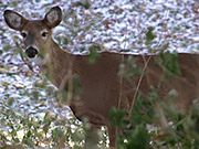 Watch free video Cute Deer Walking