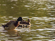 Watch free video Beautiful Ducks in Slow Motion