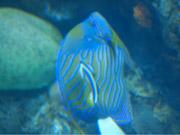 Mira dibujos animados gratis Angel Fish