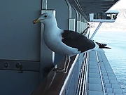 Watch free video Feeding Seagull On Side Of Ship On Rail