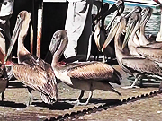 Watch free video Pelicans Eating Butchered Swordfish Cabo San Lucas