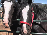 Watch free video Premarin Horse Rescued LARC