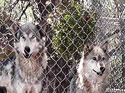 Watch free video Rescue Wolf Dog Mix Howls Trhough Fence LARC