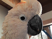 Watch free video Salmon Crested Cockatoo Pecks Camera Close Up