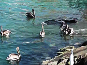 Watch free video Sea Lion Swimming With Pelicans Cabo San Lucas