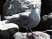Watch free video Seagull Standing On Rocks Alaska Mohr Productions