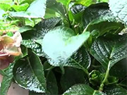 Watch free video Raindrops on the Leaf