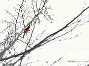 Watch free video Static Shot of a Cardinal Chirping in a Tree