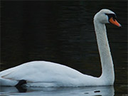 Watch free video White Swan