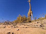 Watch free video GoPro Video of the Week: Giraffe Kick