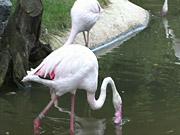 Watch free video Flamingos