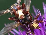 Watch free video Mating of Sicus ferrugineus in Macro