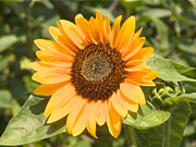 Watch free video Sunflower