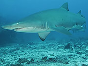 Watch free video Grey Nurse Sharks at Flat Rock Сomes Сlose