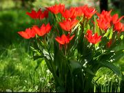 Watch free video Red Tulip