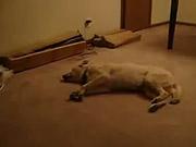 Watch free video Bizkit The Sleep Walking Dog