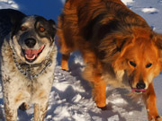 Watch free video Dogs and the Snow