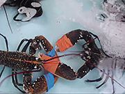 Watch free video Crab Boxing