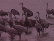 Watch free video Sandhill Crane