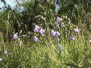 Watch free video Bluebells Swaying on a Wind