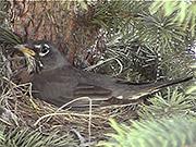Watch free video Robin in Nest
