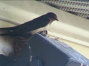 Watch free video Swallows - Chasing An Intruder