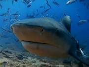 Watch free video Sharks Rescored - Mini Documentary
