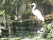 Watch free video Myakka Park - A Great Egret