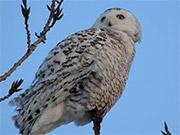 Watch free video White Owl