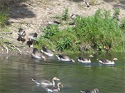 Watch free video Geese at Holkham