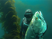 Watch free video WSB - Spearfishing White Sea Bass