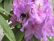 Watch free video Rhododendron and Bee in Macro