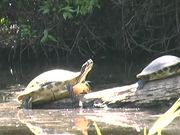Myakka River State Park - Turtles