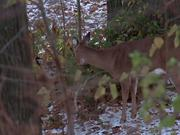 Watch free video Doe and Fawns
