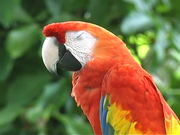 Watch free video Sarasota Jungle Gardens - The Parrot
