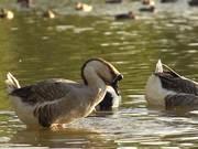 Watch free video Swan Goose in Slow Motion