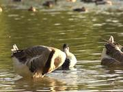 Watch free video Swan Goose in Slow Motion