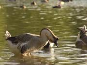 ดูการ์ตูนฟรี Swan Goose in Slow Motion