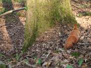 Watch free video Squirrel Action in Forest